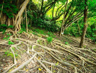 大地に根を張るがじゅまるの木